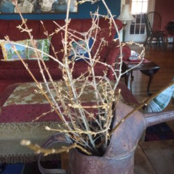 Forcing spring with forsythia